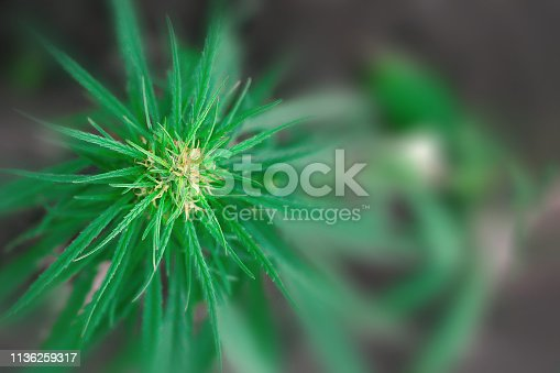 istock Green cannabis flower CBD macro and medical marijuana. Growing hemp top quality products. Concept of the use of cannabis oil for therapeutic purposes 1136259317