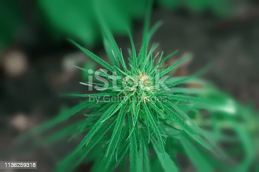 istock Green cannabis flower CBD macro and medical marijuana. Growing hemp top quality products. Concept of the use of cannabis oil for therapeutic purposes 1136259318