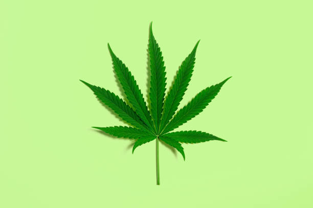 Green Cannabis Leaf from Medical Marijuana or Hemp Plant on Lime Green Background stock photo