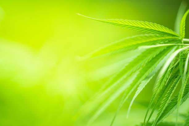 groene cannabis sativa blad op onscherpe achtergrond - hennep stockfoto's en -beelden