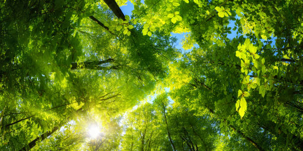 Green canopy and sun in the forest stock photo