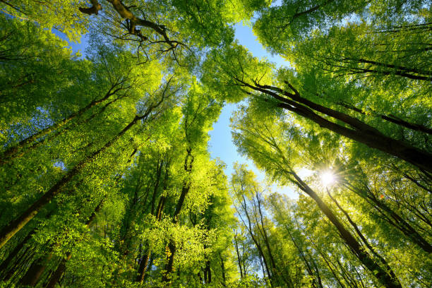 Green canopy in the forest with sun rays stock photo