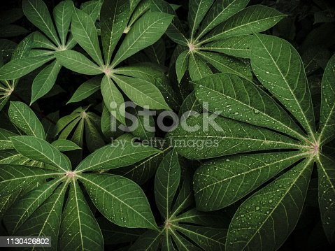 green cassava leaves