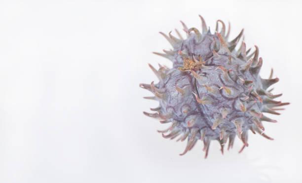 green castor fruits - ricinus communis - ricin zdjęcia i obrazy z banku zdjęć