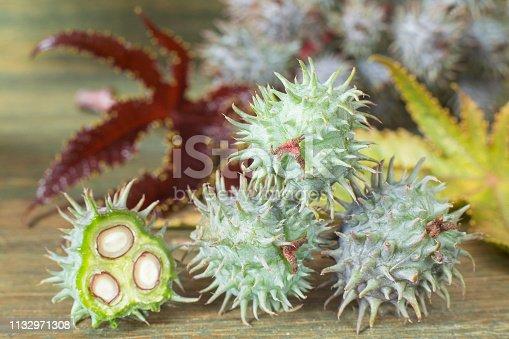 istock Green castor fruits - Ricinus communis 1132971308