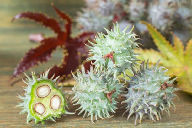 綠色城堡水果-裡西斯公社 - ricin 個照片及圖片檔
