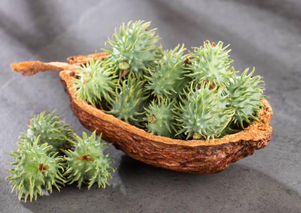 綠色城堡種子-裡西斯公社 - ricin 個照片及圖片檔