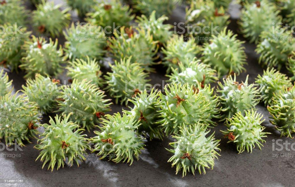 Green Castor Seeds Ricinus Communis Stock Photo Download Image Now Istock