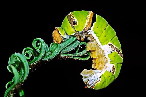 Green Caterpillar climbing spiral Cycad leaves.