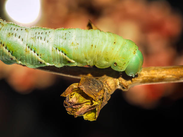 a green caterpillar creeps along a fresh sprout of a tree - hair line surface stock photos and pictures