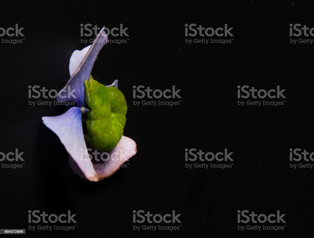 Green caterpillar on hydrangea leaf on black. stock photo