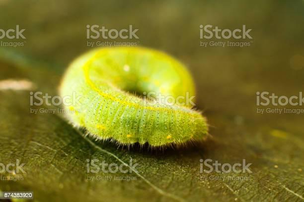 Green caterpillar on leaf picture id874383920?b=1&k=6&m=874383920&s=612x612&h=cyjztggvr tgt044vh5foml416 hhhgbit5bnz7ze 4=