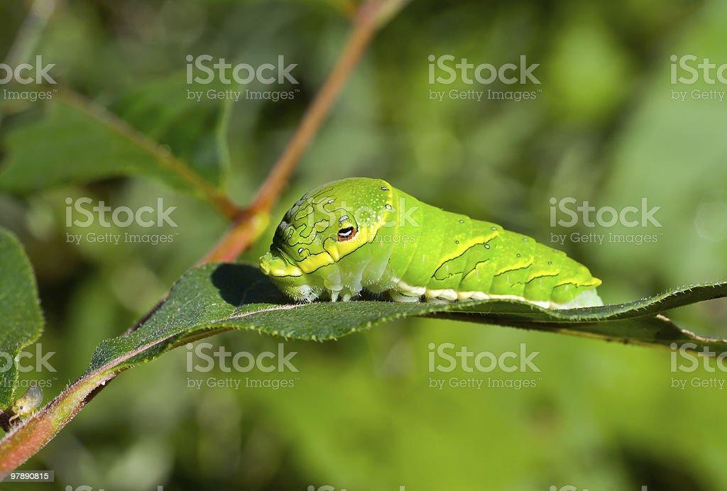 Green caterpillar on leaf royalty-free stock photo