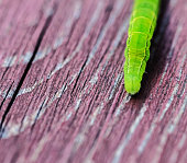 Pretty real green caterpillar on wooden board at summer day