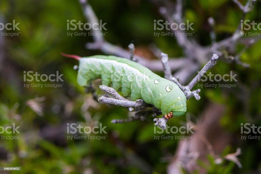 Green Caterpillar royalty-free stock photo