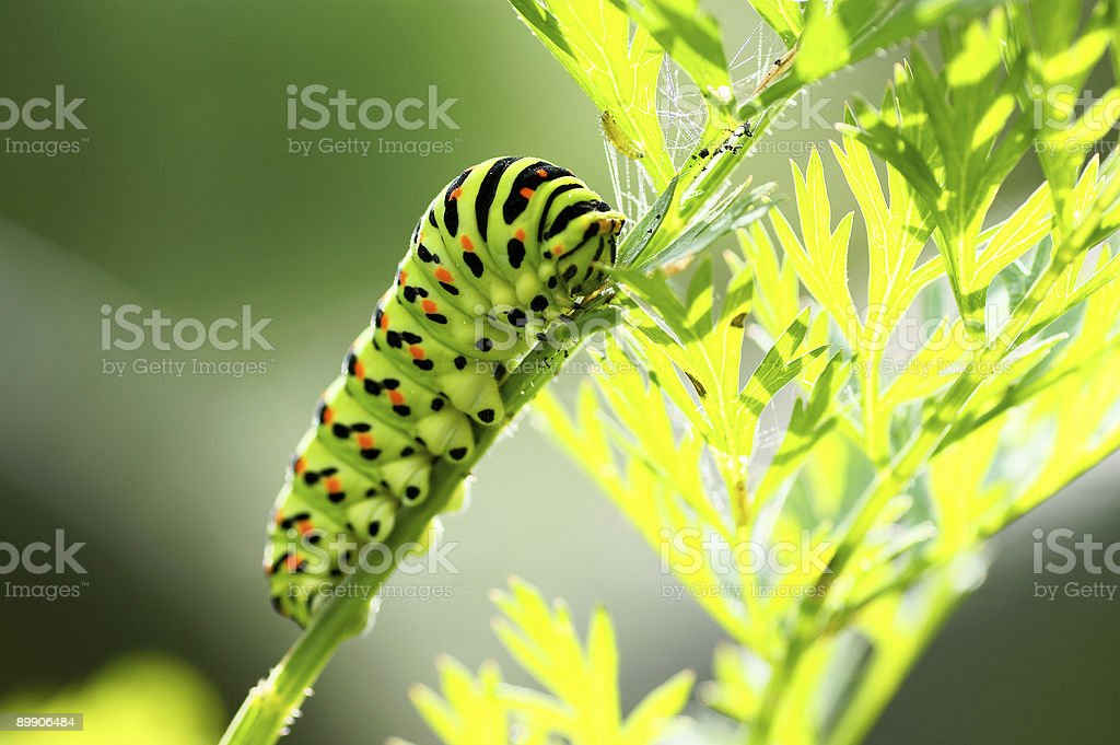 Green caterpillar royalty-free stock photo