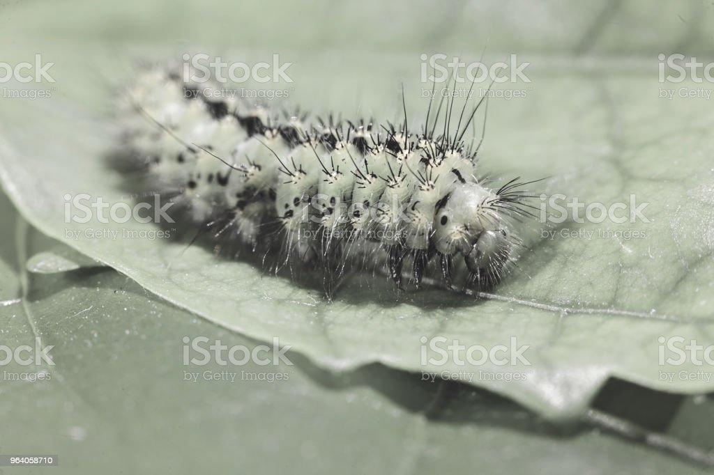 緑の幼虫 - アブラナ科のロイヤリティフリーストックフォト