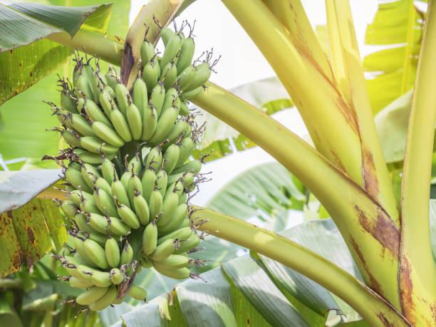 grüne Cavendish Banane frischen Haufen oder Gros Michel Früchte wachsen auf Baum – Foto