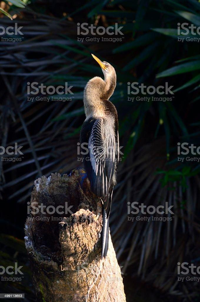 Green Cay Anhinga Sunning royalty-free stock photo
