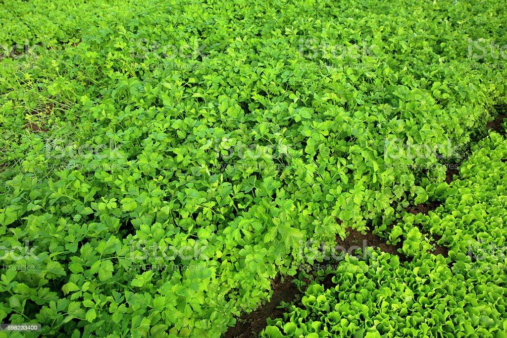 Verde aipo em crescimento na horta foto royalty-free