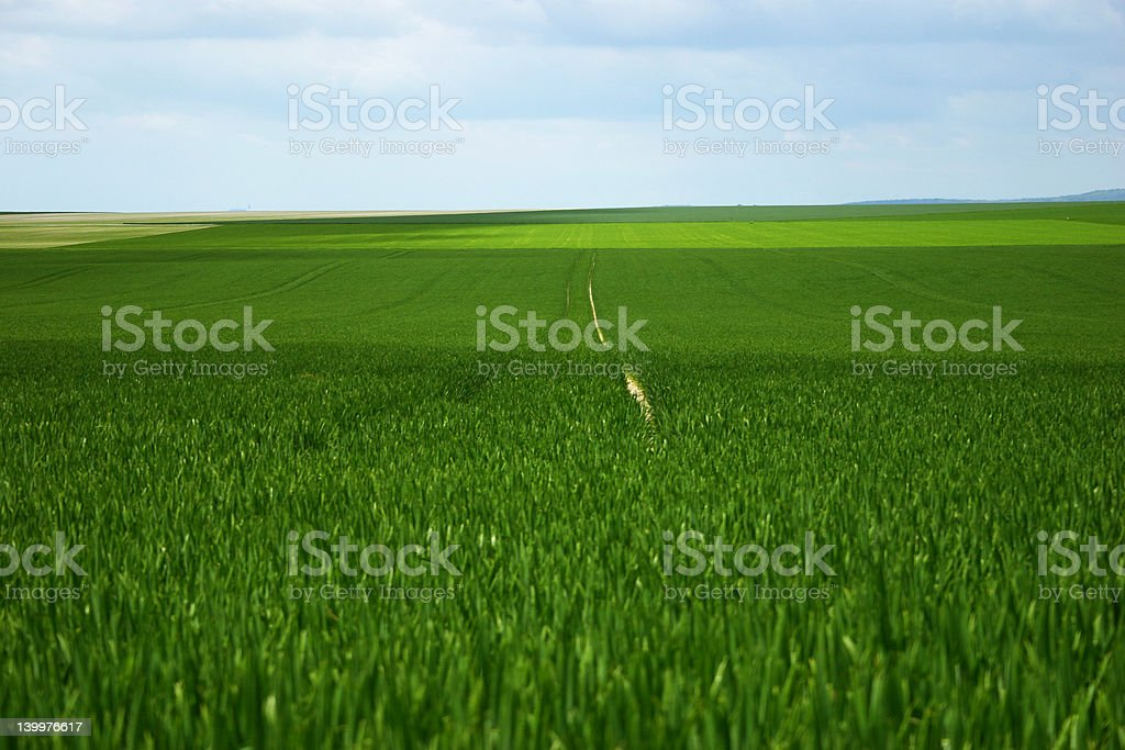 Green cereal field royalty-free stock photo