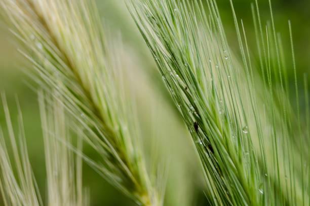 zielone zboże – zdjęcie