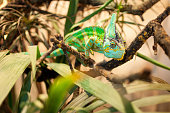 A green and yellow striped chameleon climbing through a tree