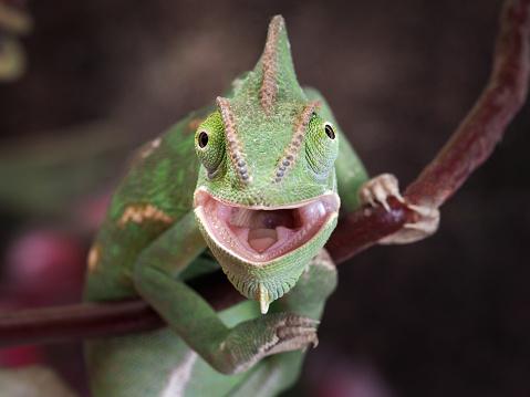 Green chameleon hunting. Portrait of an exotic animal. Macro
