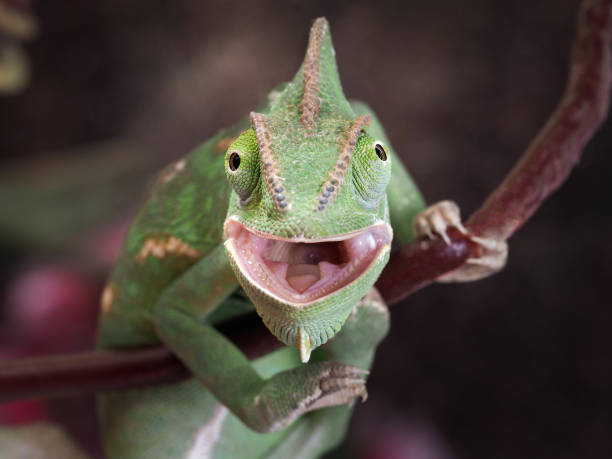 green chameleon hunting. portrait of an exotic animal. macro - animal head stock pictures, royalty-free photos & images