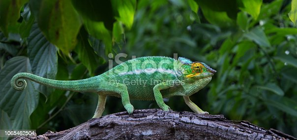 Green chameleon in jungle Lokobe Reserve, Nosy Be, Madagascar