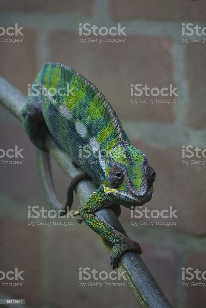 Green Chameleon Lizard on Wood Branch stock photo