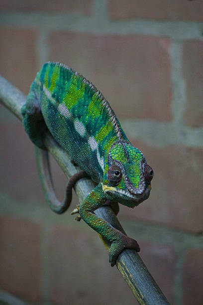 Green Chameleon Lizard on Wood Branch stock photo