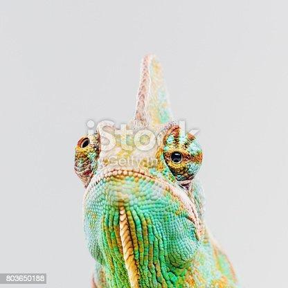 istock Green chameleon looking at camera 803650188