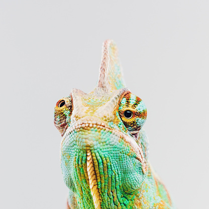 Close up portrait of green baby chameleon posing against gray background with grumpy expression. Square studio photography from a DSLR camera. Sharp focus on eyes.
