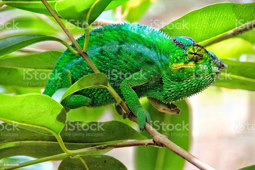 Green chameleon, Madagascar stock photo