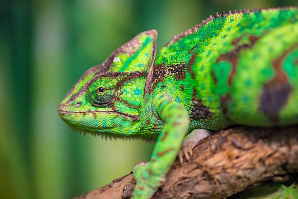 zielony kameleon na oddział patrząca na kamery, zbliżenie - kameleon zdjęcia i obrazy z banku zdjęć