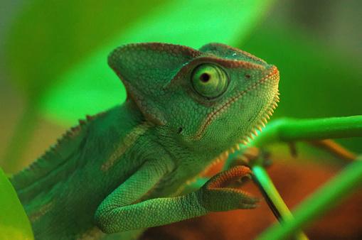 istock A Green Chameleon 1251492970