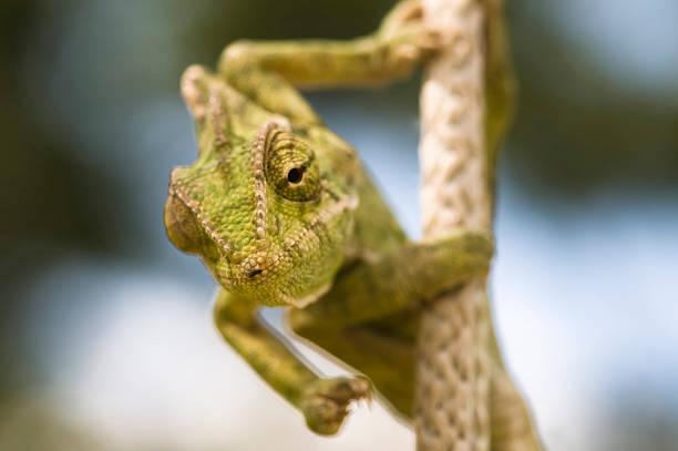 Camaleón verde - foto de stock