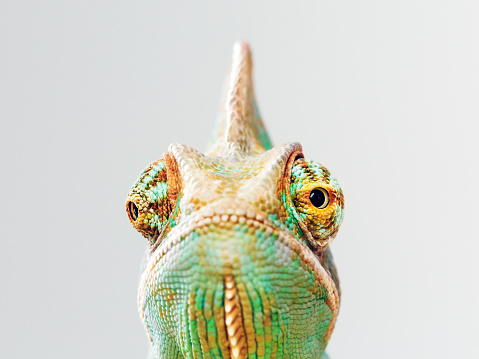 Close up portrait of green baby chameleon posing against gray background and looking at camera with grumpy expression. Horizontal studio photography from a DSLR camera. Sharp focus on eyes.