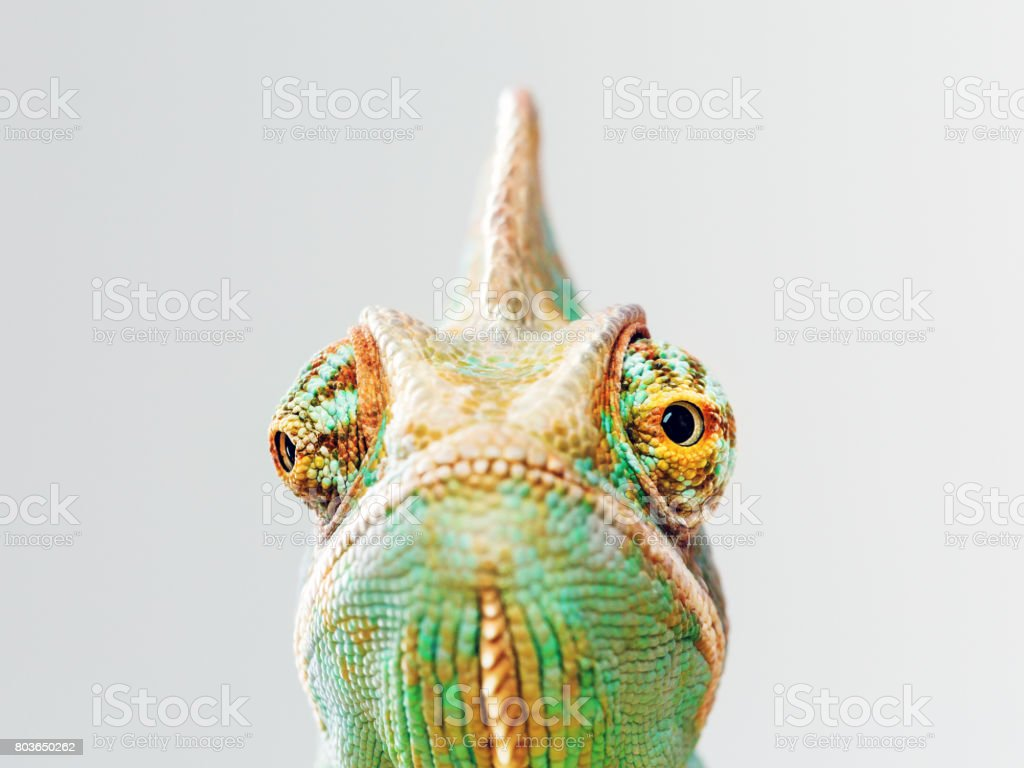 Green chameleon portrait stock photo