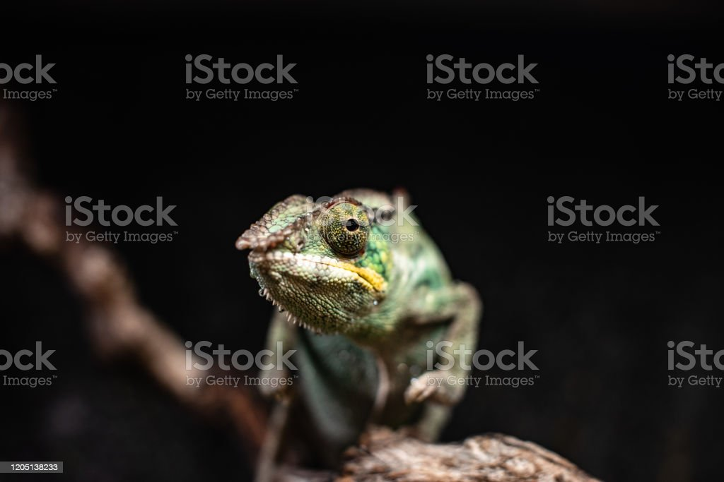 Green Chameleon Sitting Branch Rock Black Background Dof Sharp Focus Space For Text Macro Reptile Jungle Aquarium Home Pet Cute Stock Photo Download Image Now Istock,Sun Conure For Sale