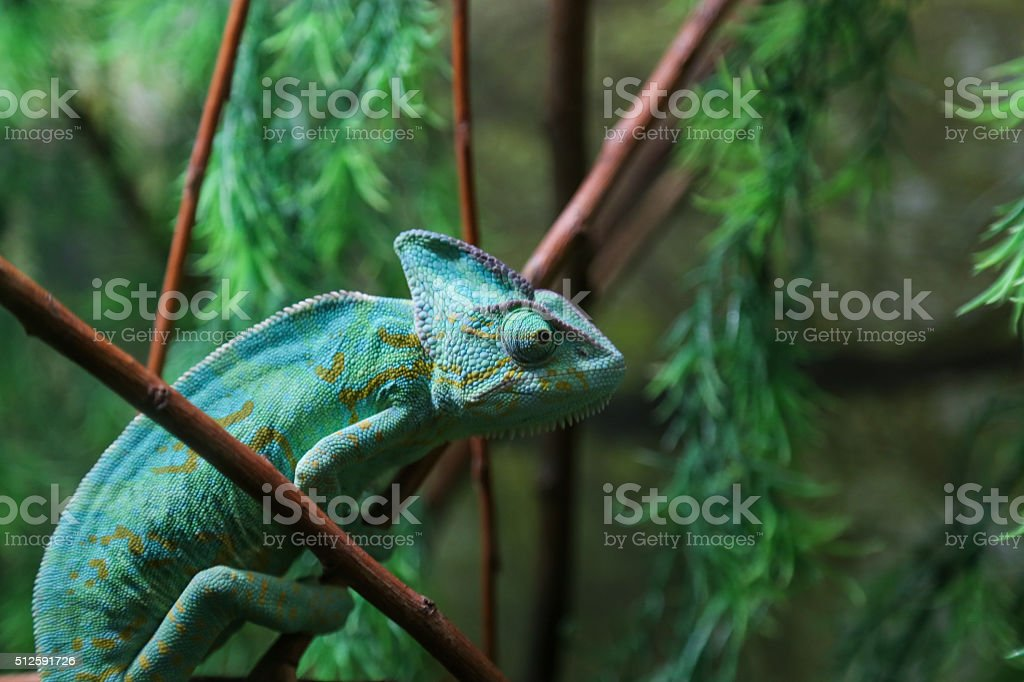 Green Chameleon Sitting on Plant Stalk stock photo