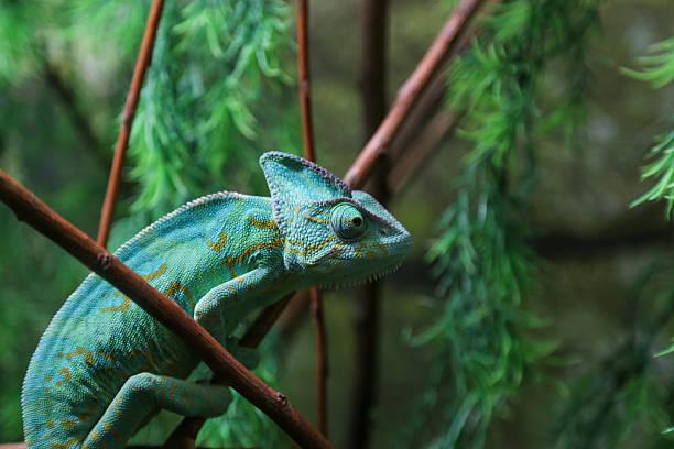 zielony kameleon siedzi na rośliny tropić - kameleon zdjęcia i obrazy z banku zdjęć