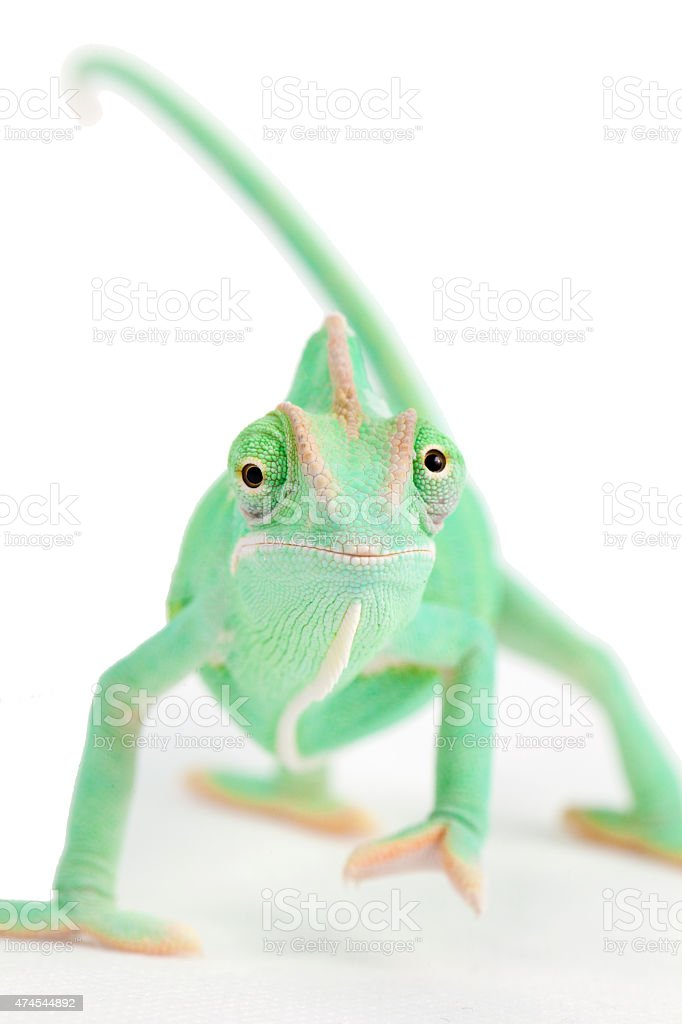 Green chameleon with funny face stock photo