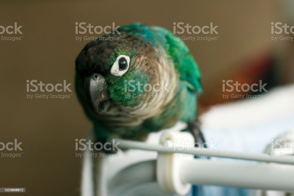 Green Cheek Parrot stock photo