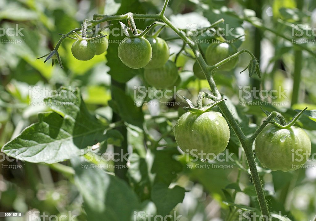 Green Cherry Tomatoes in the Garden stock photo