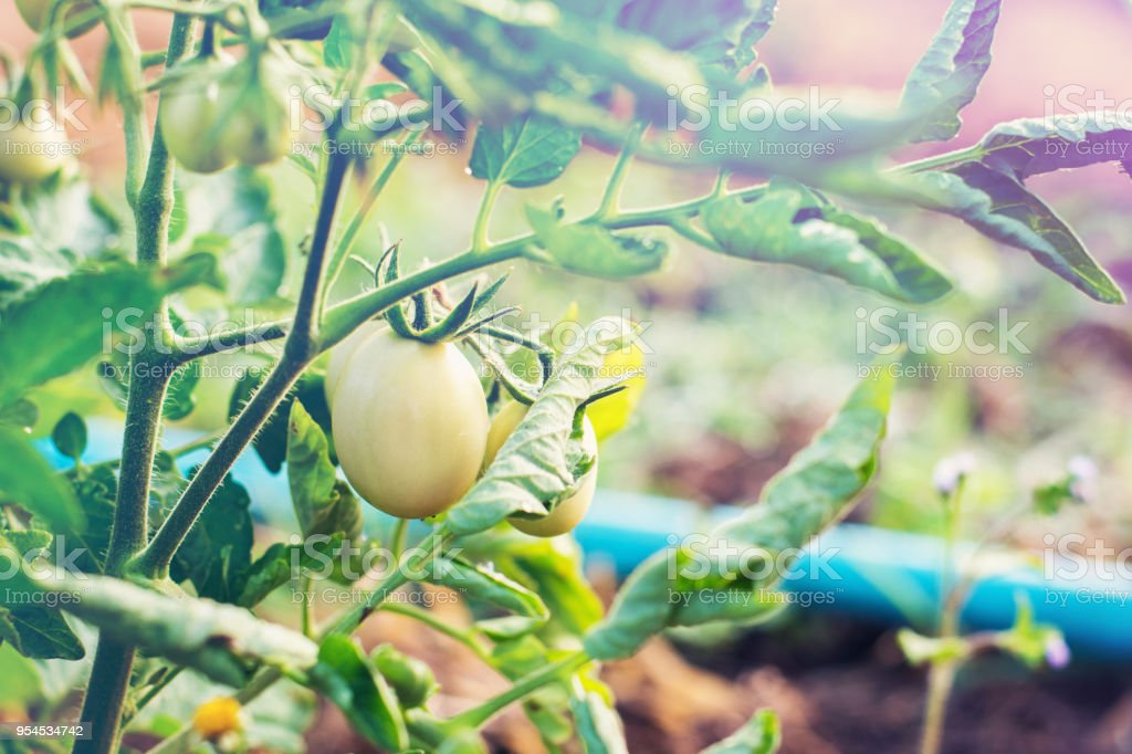 Green cherry tomatoes on branch. Growing cherry tomatoes in the...