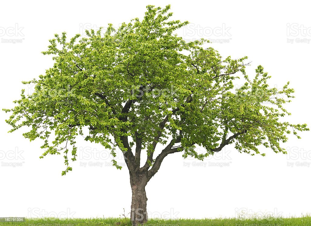 Green cherry tree or Prunus avium on grass field stock photo