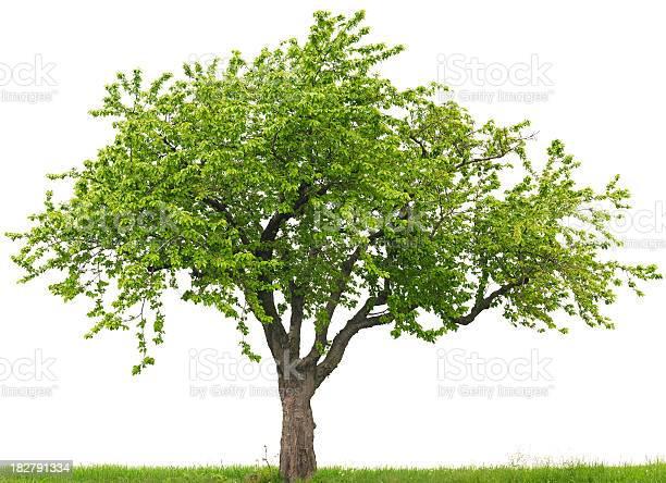 Photo of Green cherry tree or Prunus avium on grass field