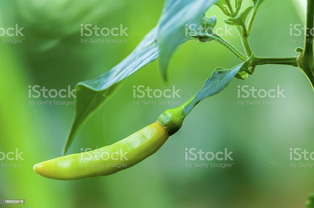 녹색 칠리 on 나무 royalty-free 스톡 사진